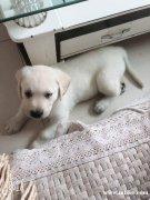 因出国 出售自家拉布拉多 两个月 品相好的狗宝宝