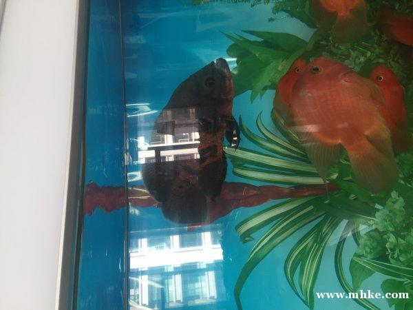 5条地图鱼20多厘米