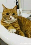 家里猫猫丢失 找回有酬谢